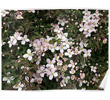 Spring is in the Air - Clematis Buds and Blossoms Poster