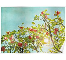Pink Camellia japonica Blossoms and Sun in Blue Sky Poster