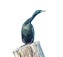 Cormorant on a Post Photographic Print
