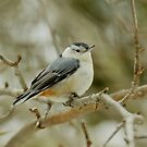 White-breasted Nuthatch - Sitta carolinensis  by MotherNature