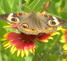 Butterfly on Indian Paintbrush by Navigator