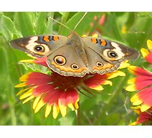 Butterfly on Indian Paintbrush Photographic Print