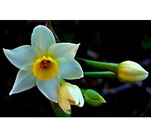 This Silly Jonquil Photographic Print