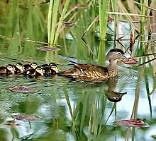 Wood Duck Family by kimberpix