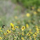 Hummingbird and California Wild Sunflowers by Susan Gary