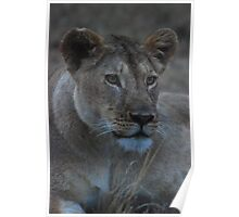 lioness at nightfall Poster