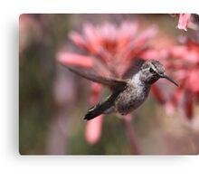 Anna's Hummingbird at Bolsa Chica Wetlands Canvas Print