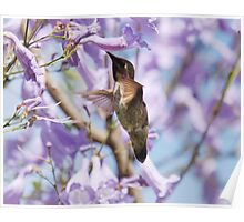 Hummingbird Visits the Jacaranda Poster