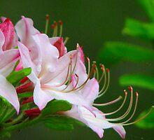 ~Wild Pink Azalea~ by NatureGreeting Cards ©ccwri