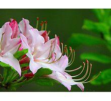 ~Wild Pink Azalea~ Photographic Print