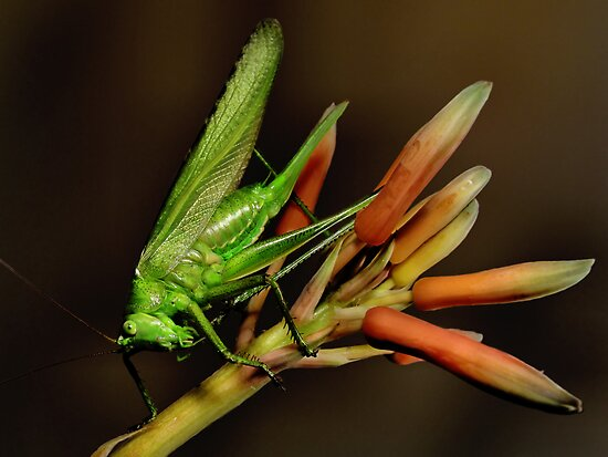 Katydid by jimmy hoffman