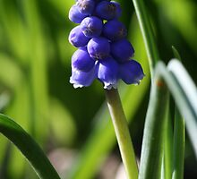 A Lonely Grape Hyacinth by cornishgirlie