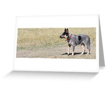 Blue Steele Blue Heeler Greeting Card