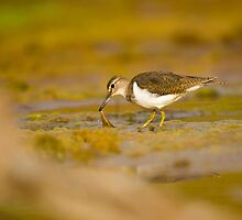 Common sandpiper (Actitis hypoleucos) foraging for food while wading in a pool.  by PhotoStock-Isra
