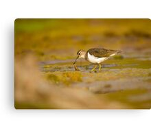 Common sandpiper (Actitis hypoleucos) foraging for food while wading in a pool.  Canvas Print