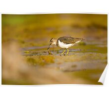 Common sandpiper (Actitis hypoleucos) foraging for food while wading in a pool.  Poster