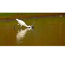 Little egret (Egretta garzetta) foraging for food while wading in a pool.  Photographic Print