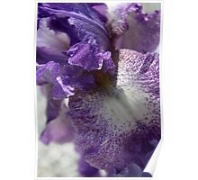 Iris Close Up In Shades of Cream and Purple Poster