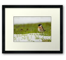 Whinchat (Saxicola rubetra) a small migratory passerine bird Framed Print