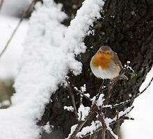 European Robin (Erithacus rubecula) perched on a branch in the snow by PhotoStock-Isra