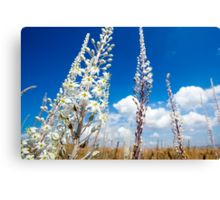 White Flowering Sea Squill, (Drimia maritima) on a blue sky background.  Canvas Print