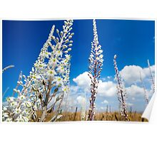 White Flowering Sea Squill, (Drimia maritima) on a blue sky background.  Poster
