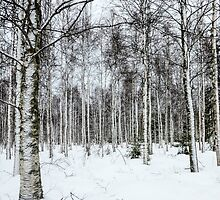 Lapland, Scandinavia, snow covered trees in a forest by PhotoStock-Isra