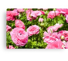 A field of pink cultivated Buttercup (Ranunculus) flowers Canvas Print