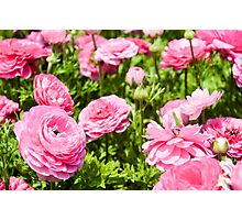 A field of pink cultivated Buttercup (Ranunculus) flowers Photographic Print