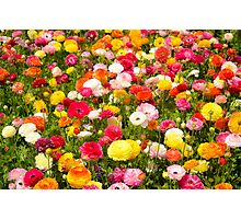 A field of multicolor cultivated Buttercup (Ranunculus) flowers  Photographic Print