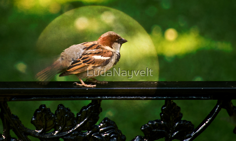 Sparrow by LudaNayvelt