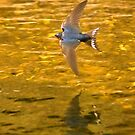 Swift Flies the Skimming Swallow by dsargent