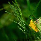Brimstone Butterfly by Rowan  Lewgalon