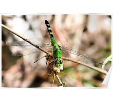 Predator and Prey - Dragonfly Poster