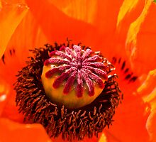 The Heart of The Poppy by Sheila Laurens