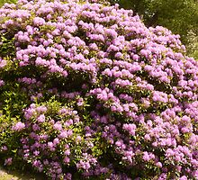 RHODODENDRUM BUSH  by Lilian Marshall