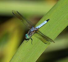 Blue Dasher 107 by Brenda Loveless