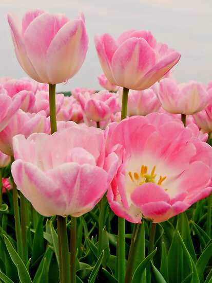  PINK CANDY TULIPS by Johan  Nijenhuis