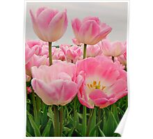 PINK CANDY TULIPS Poster