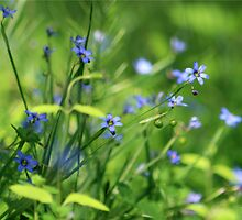 BLUE-EYED GRASS by Lori Deiter