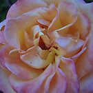 Satin Rose by Tama Blough