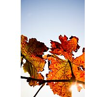 Red, red vine Photographic Print