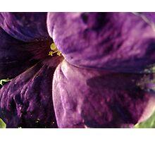 Purple Petunia Photographic Print