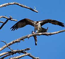 Success - An Osprey Feeding by Stephen Beattie