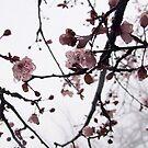 Cherry Blossom in the Fog by Harvey Schiller