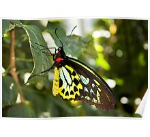 Colorful Colorado Butterfly Poster