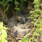 Eastern Diamondback Rattle Snake by Anji Johnston