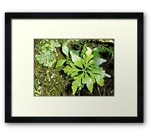 Celery -Top Pine, Cradle Mountain,Tasmania, Australia. Framed Print