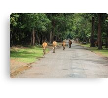 Cows Down the Road - Siem Reap, Cambodia. Canvas Print