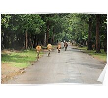 Cows Down the Road - Siem Reap, Cambodia. Poster